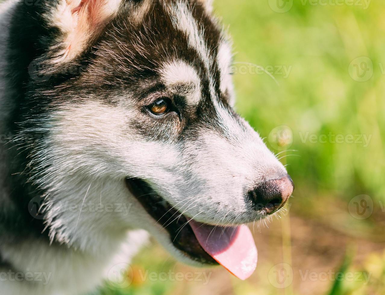 Close up giovane felice cucciolo husky eschimese cane foto