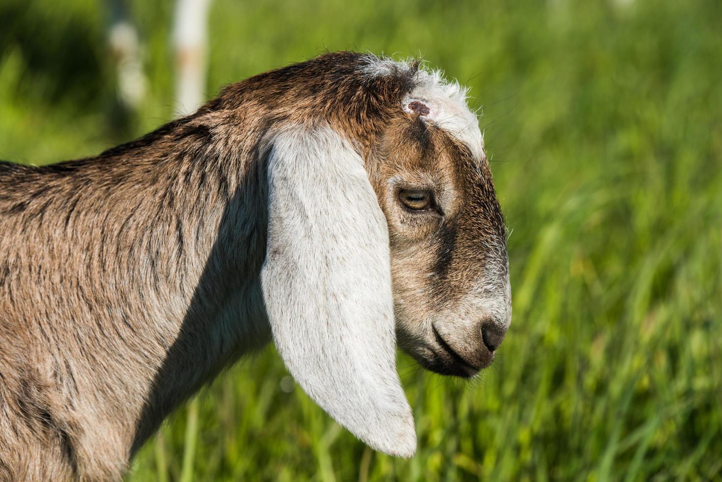 primo piano di una capra foto
