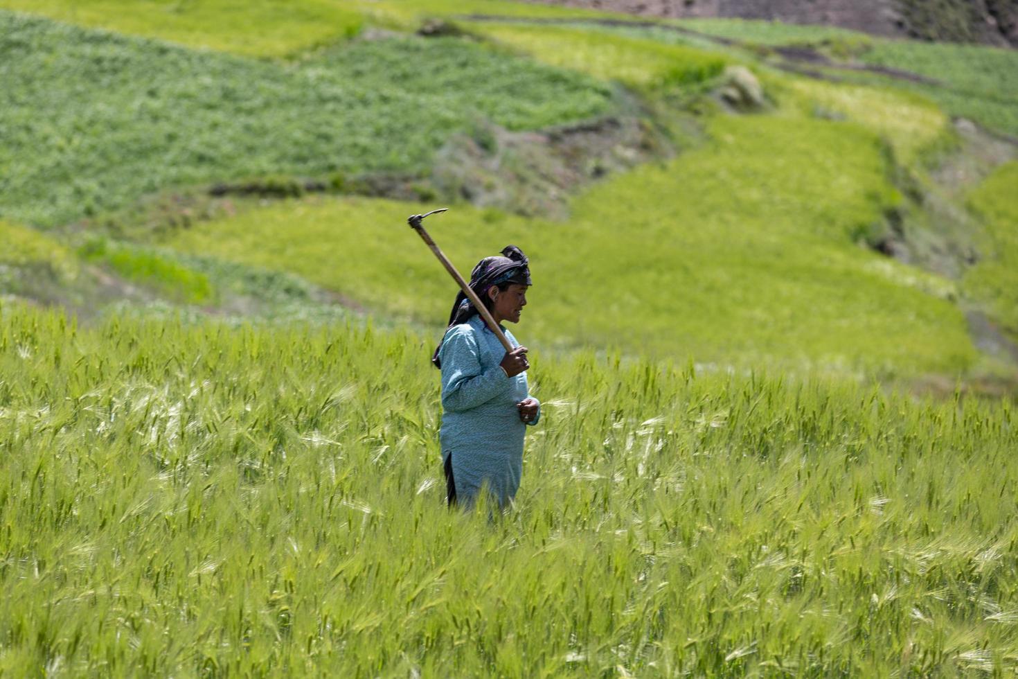 Komic Village, India, 2019- Donna che raccoglie raccolti in un campo foto