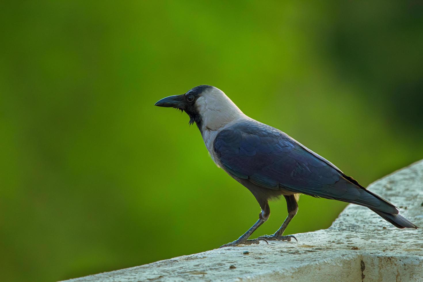 primo piano di un uccello nero e grigio foto