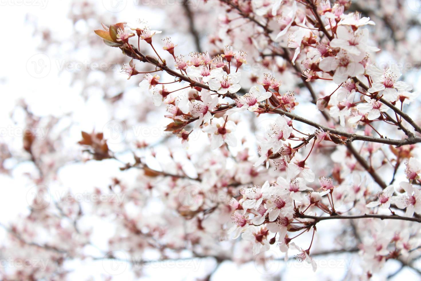 albero di albicocche in fiore foto