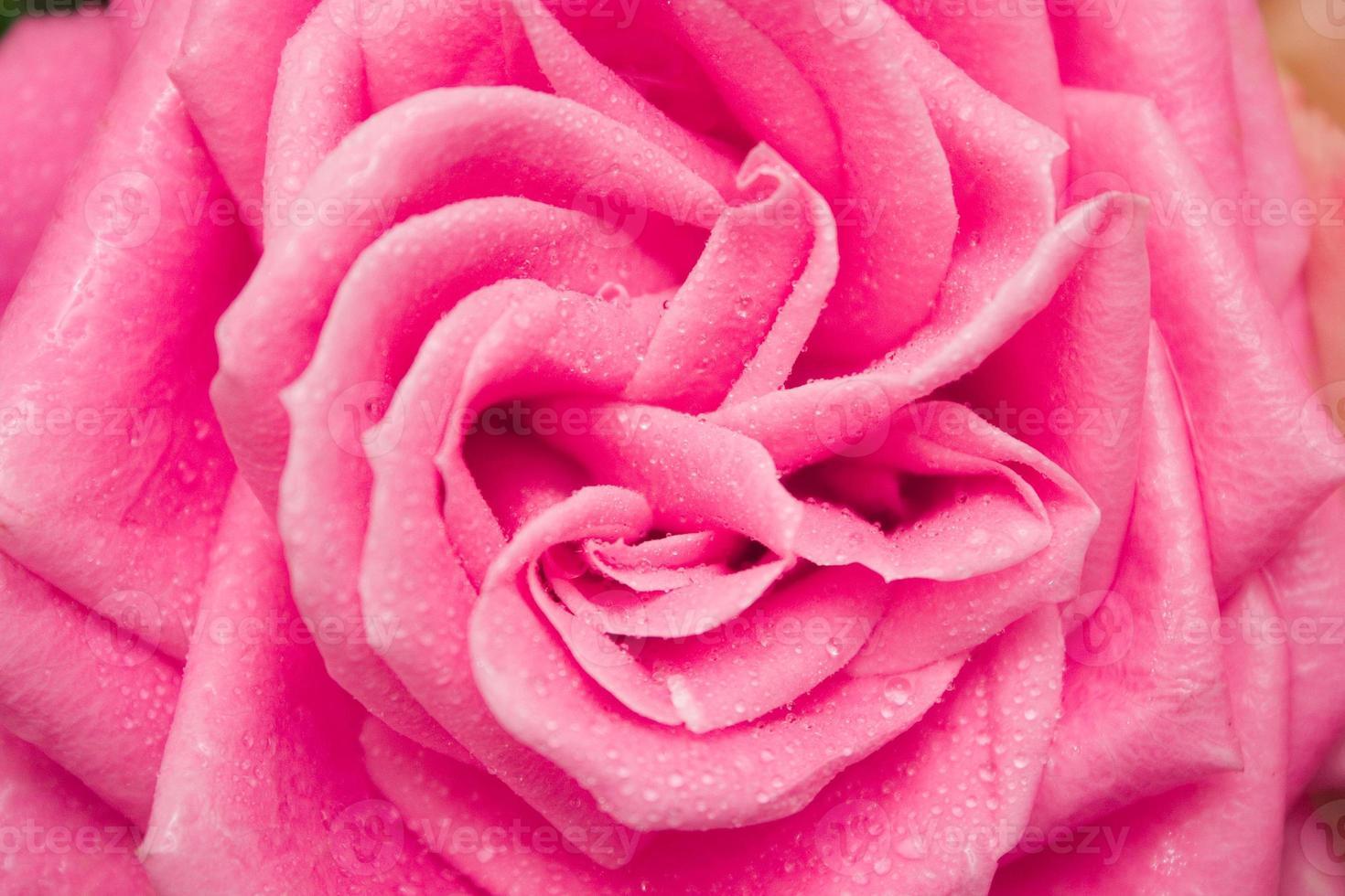 rosa con la rugiada del mattino foto