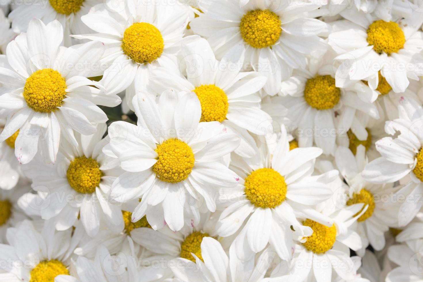 fiore di crisantemo bianco foto