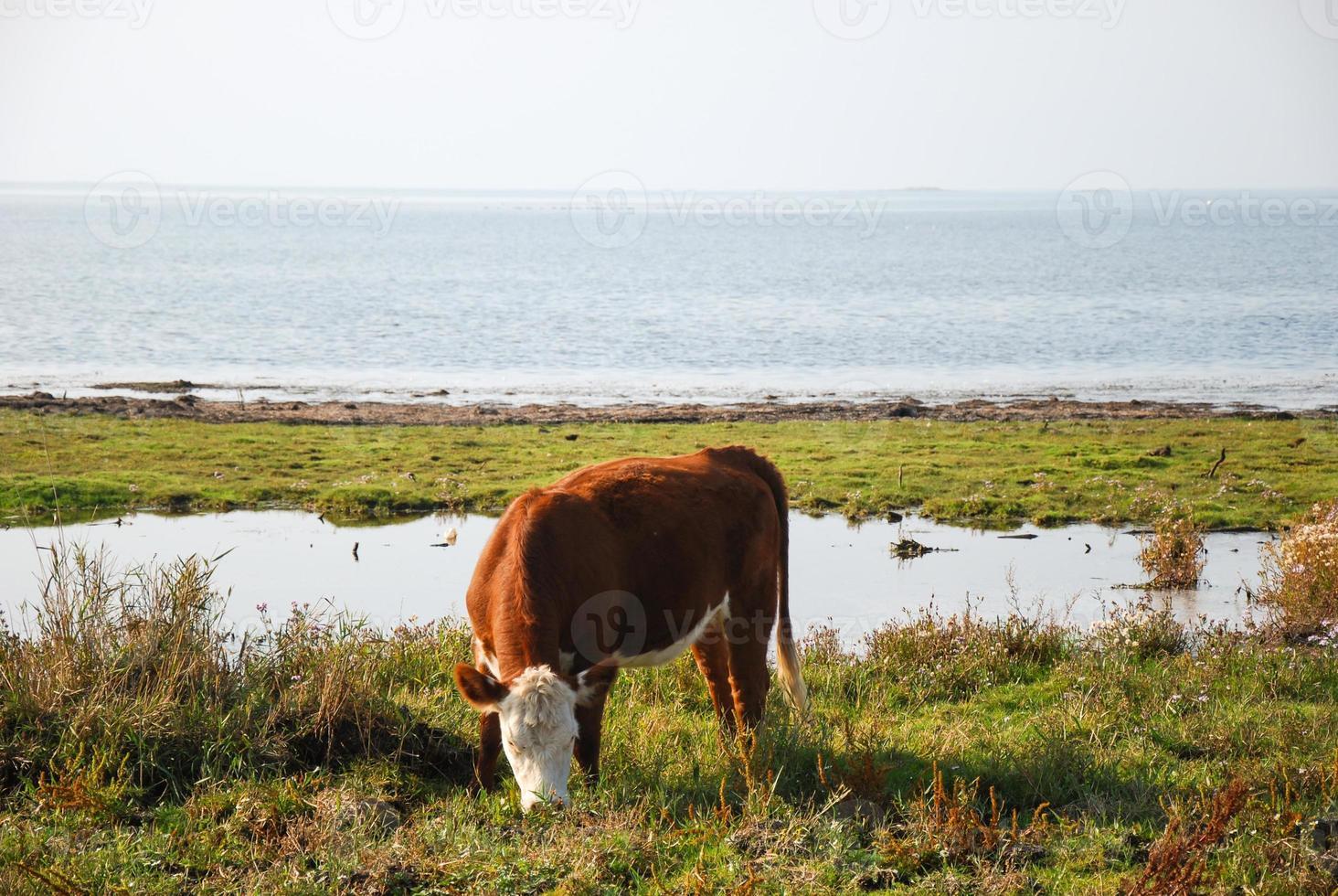mucca al pascolo sulla costa foto