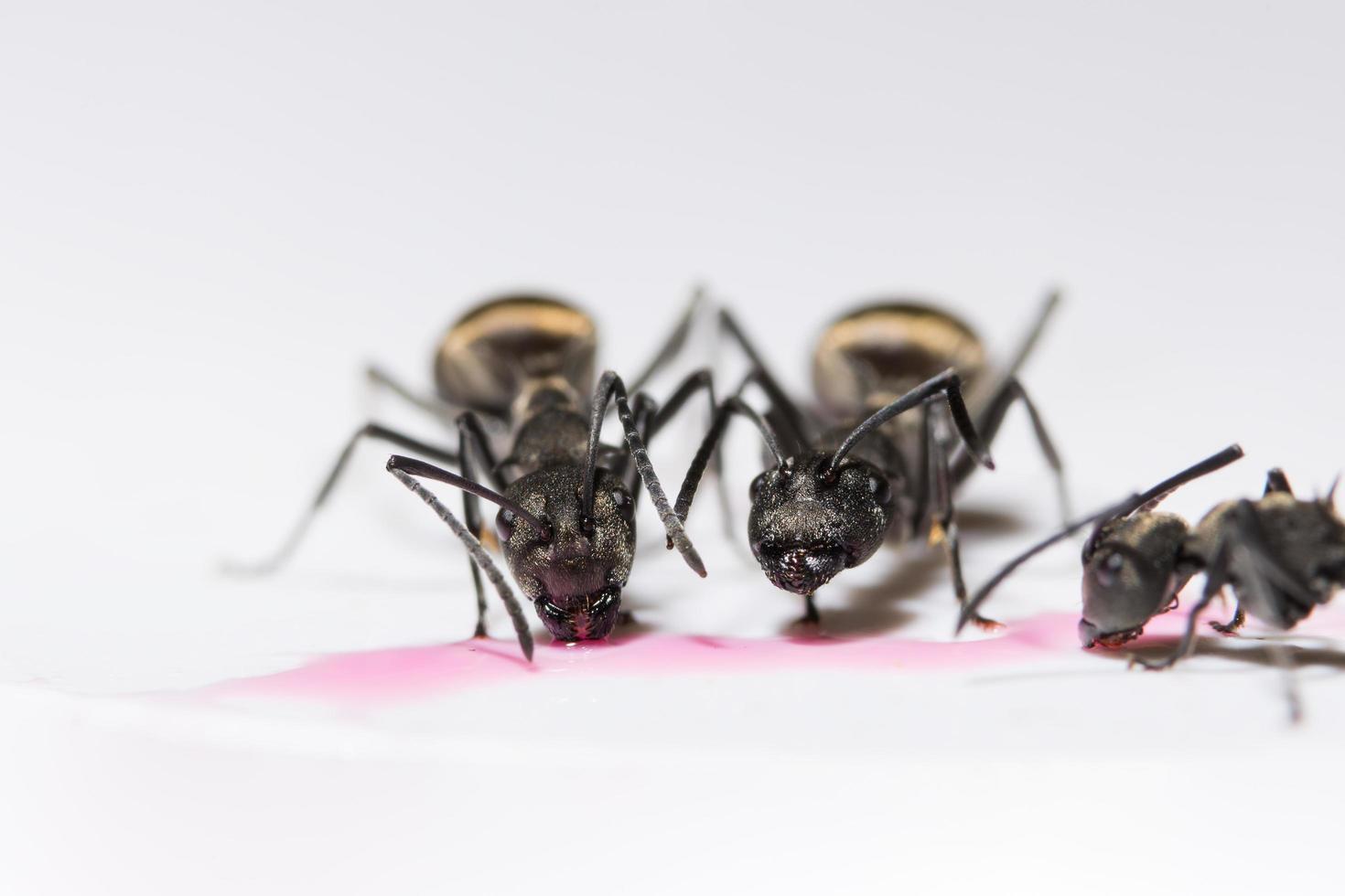 formiche nere su sfondo bianco foto