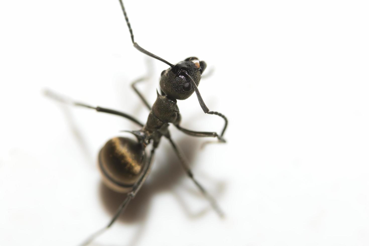 formica nera su sfondo bianco foto
