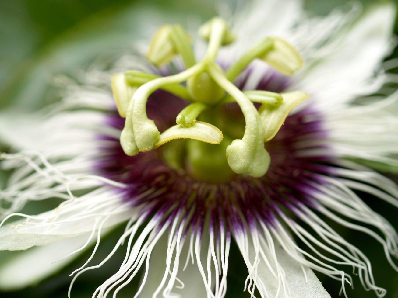 primo piano di un fiore di frutto della passione foto