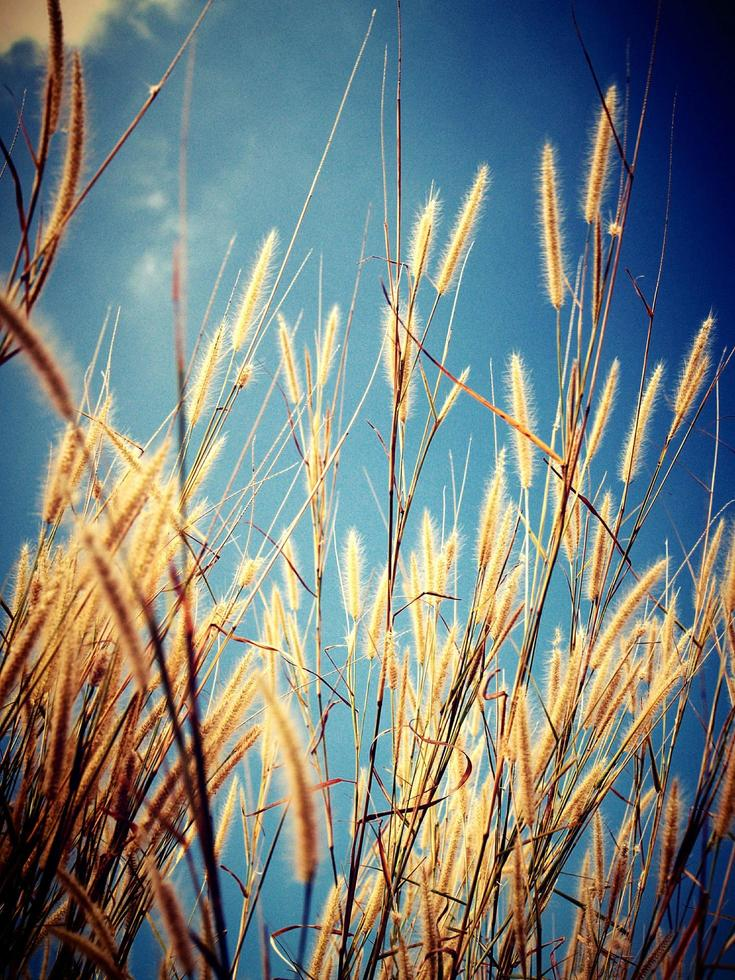 primo piano di erba di grano foto