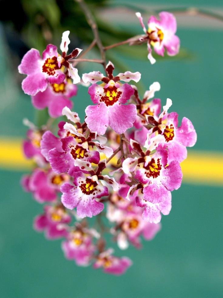 fiori di orchidea rosa foto