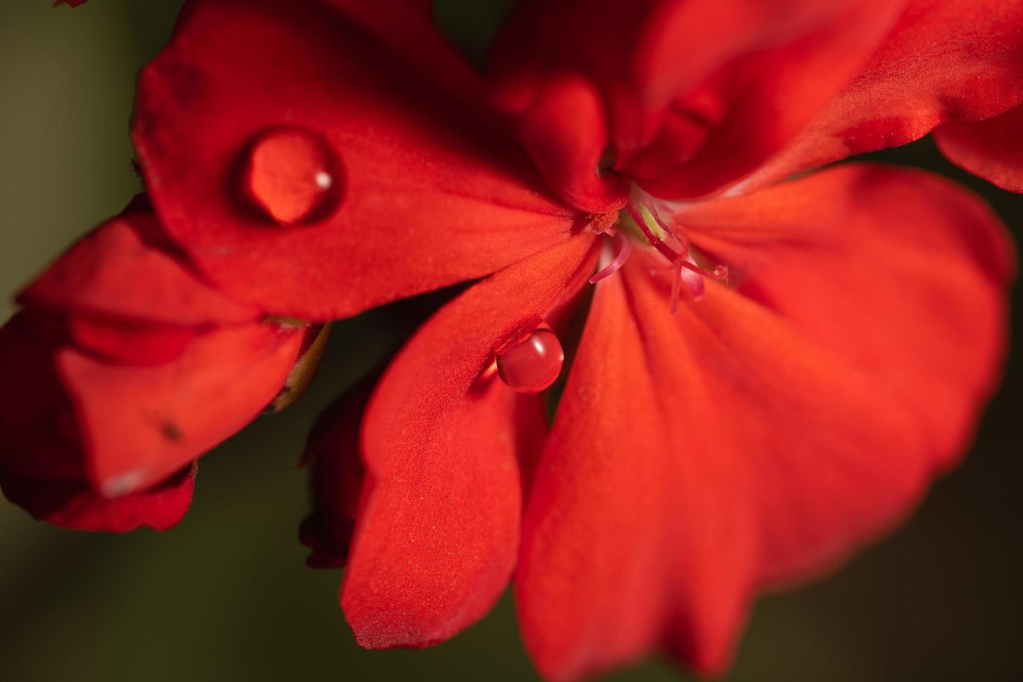 gocce di pioggia sul fiore rosso foto