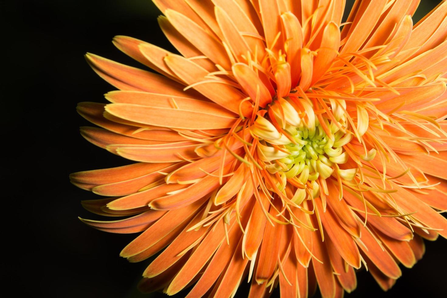 primo piano arancio del fiore della gerbera foto