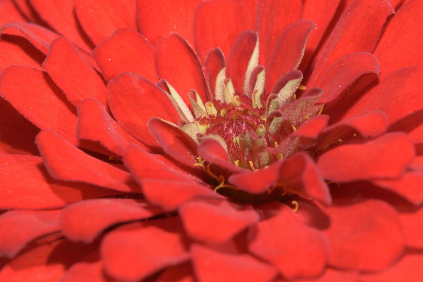 fiore di zinnia, primo piano foto