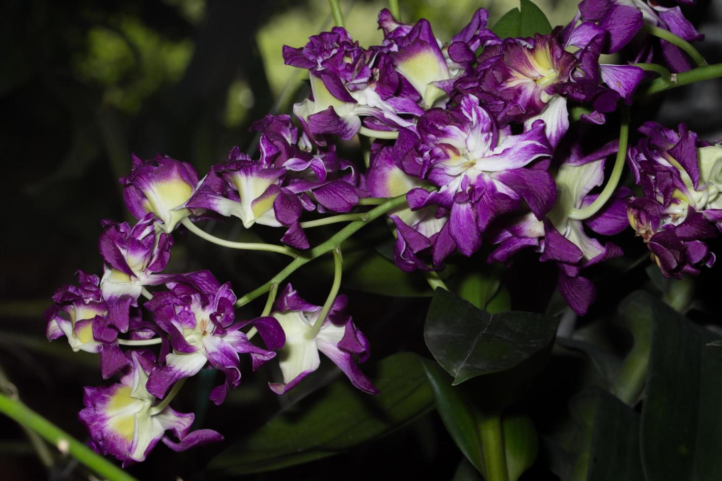 fiori di orchidea viola foto
