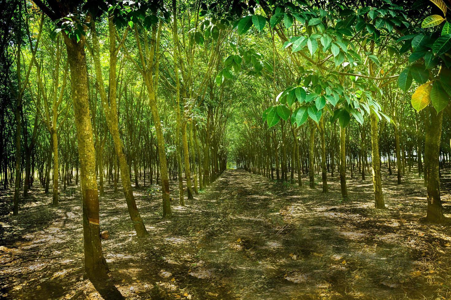 fattoria degli alberi della gomma foto