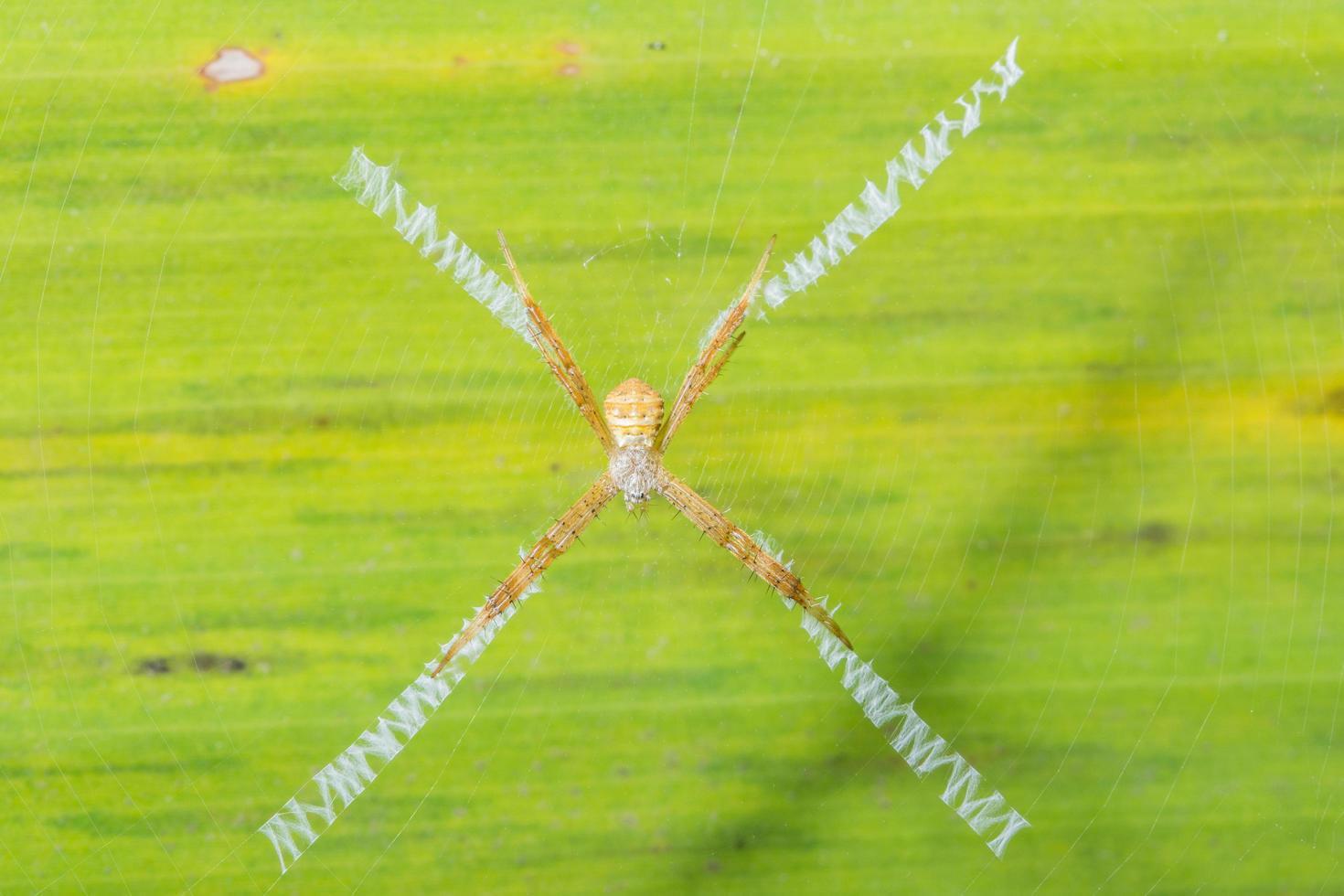ragno sopra una foglia, primo piano foto