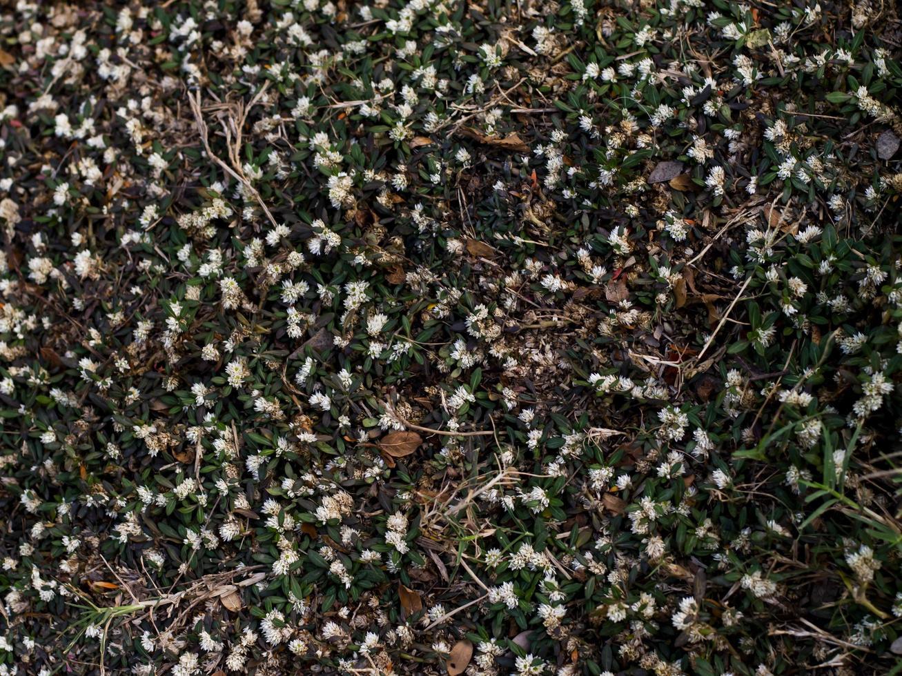 fiori di erba bianca foto