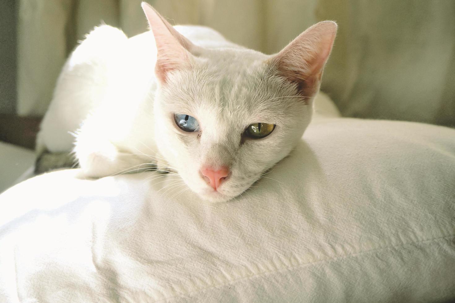 simpatico gatto bianco con occhi blu e gialli foto