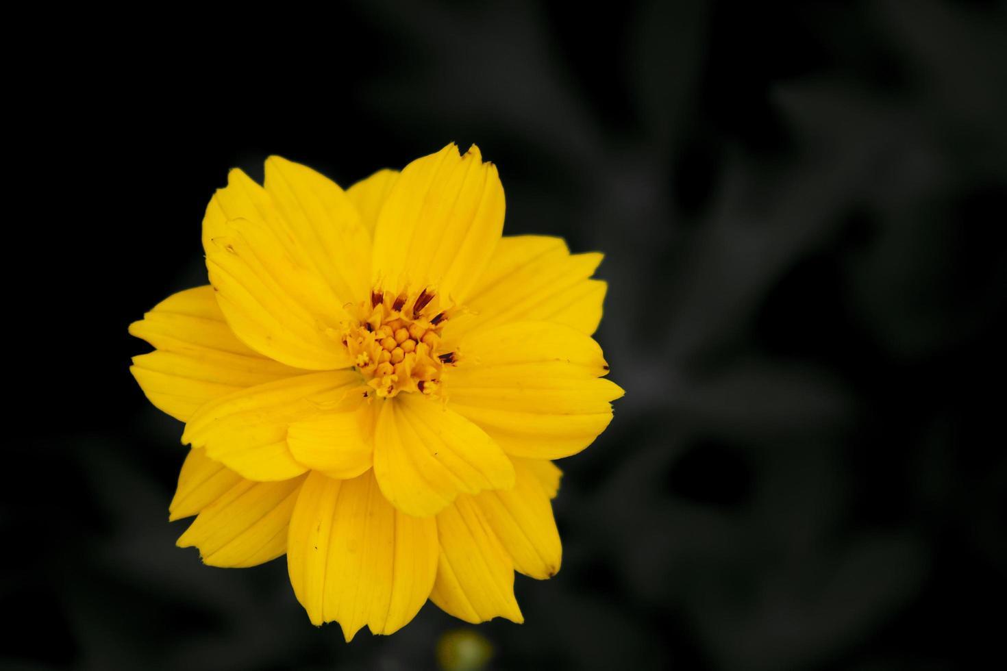 primo piano del bel fiore giallo dell'universo foto