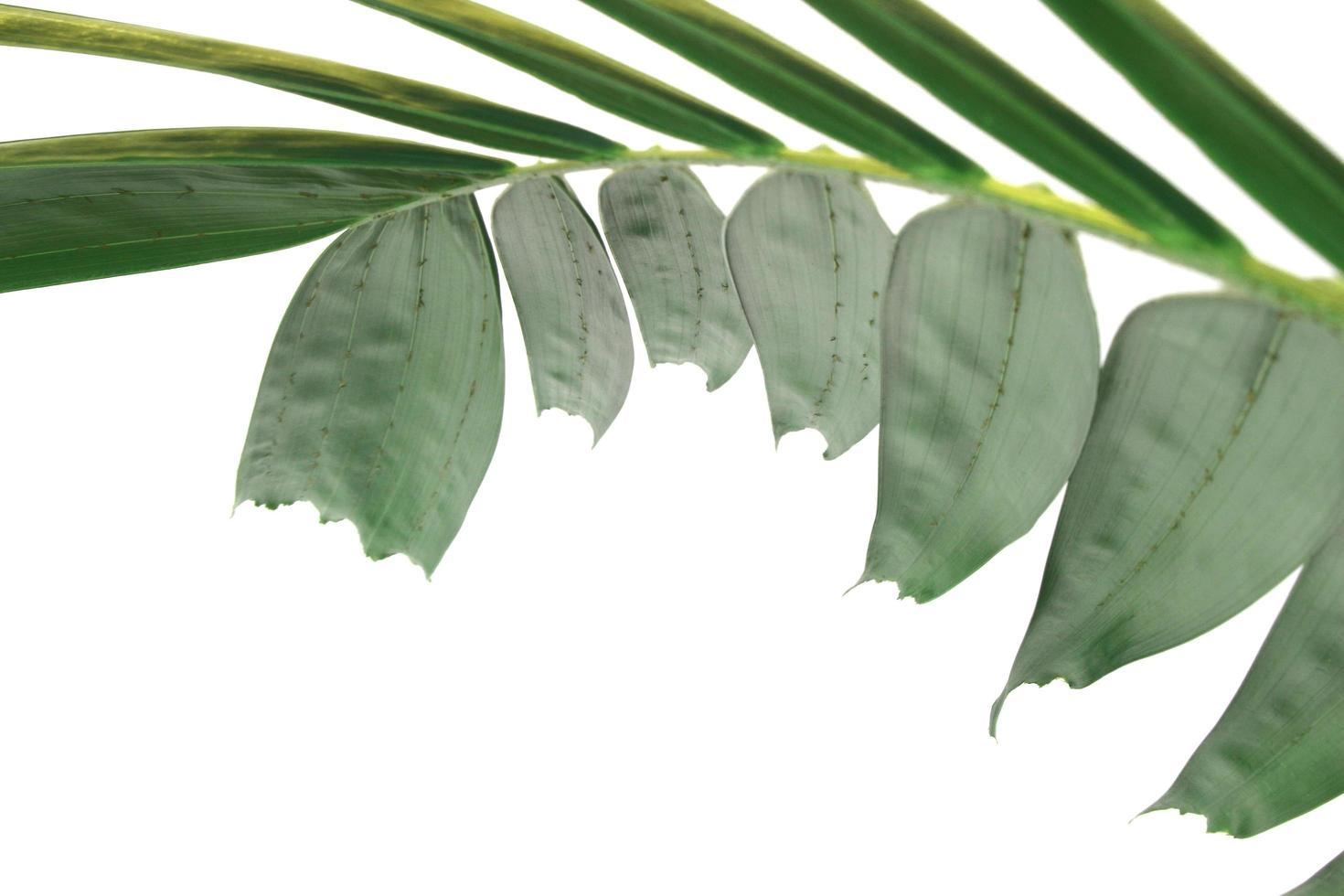 foglia di palma verde creativa moderna isolato su priorità bassa bianca foto