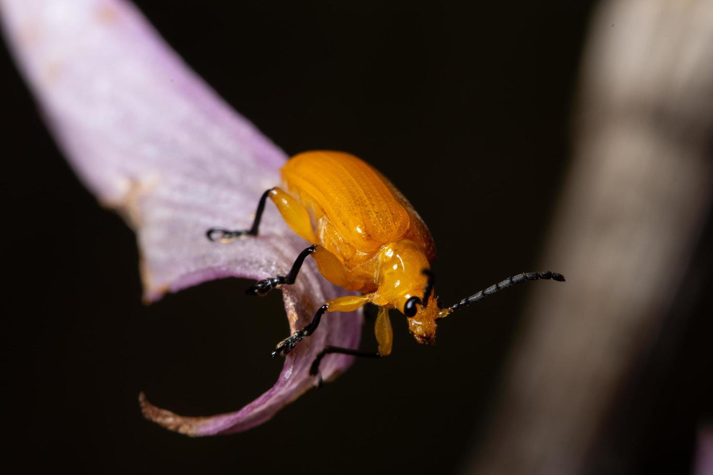 coleottero giallo, macro foto