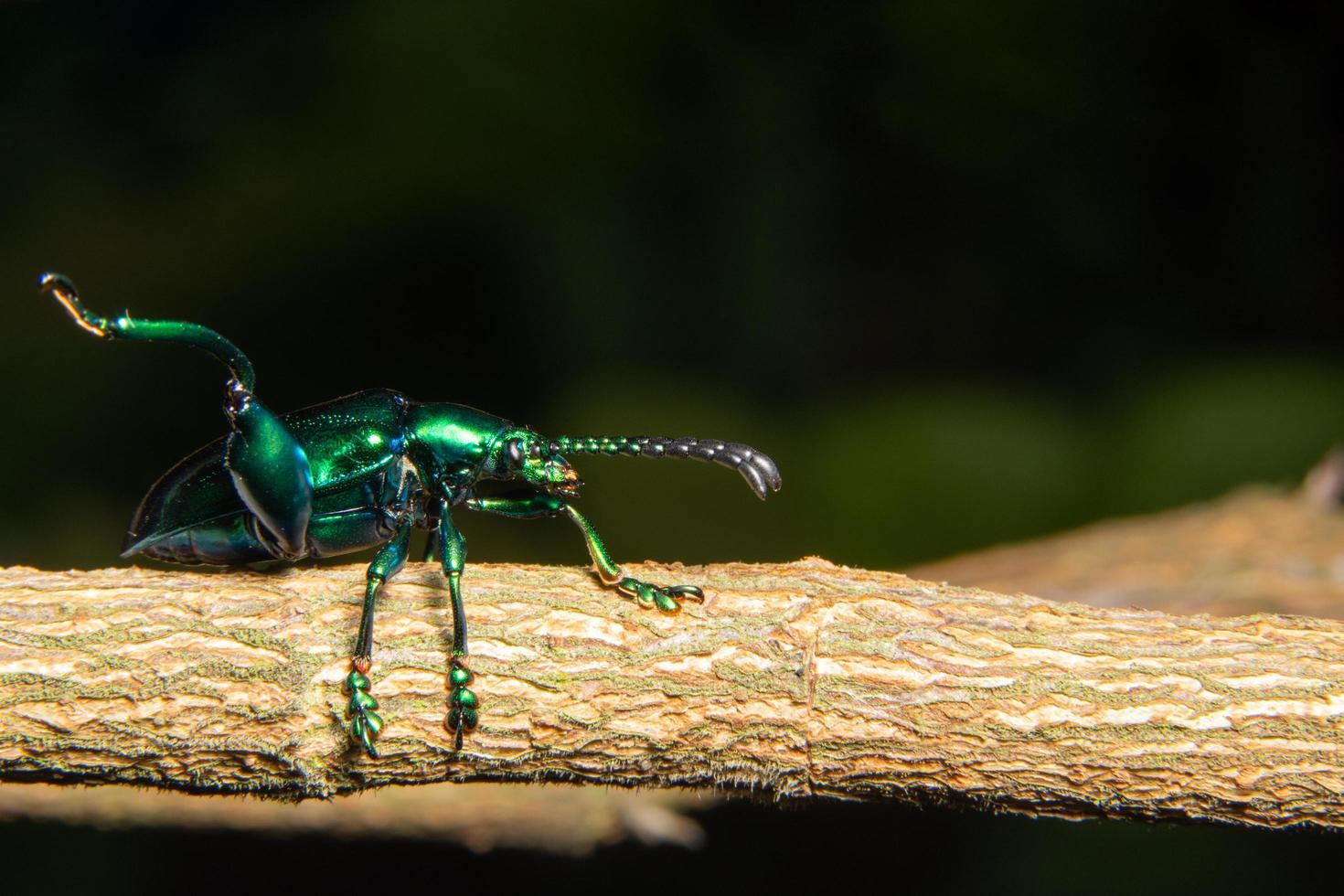 scarabeo verde, macro foto