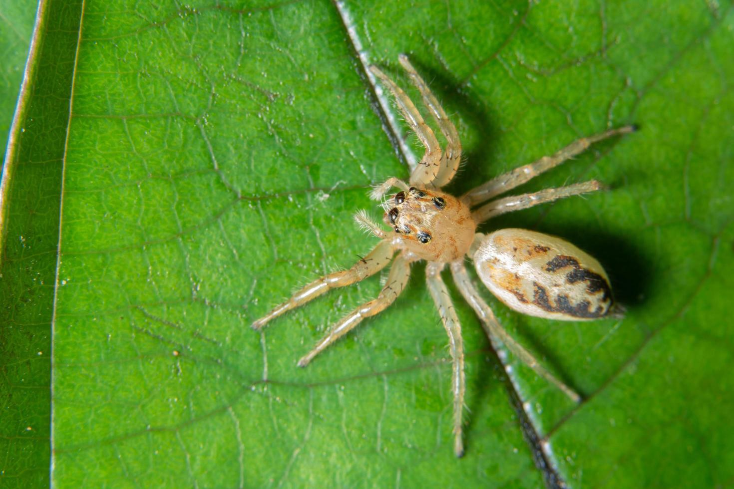 ragno su una foglia, macro foto