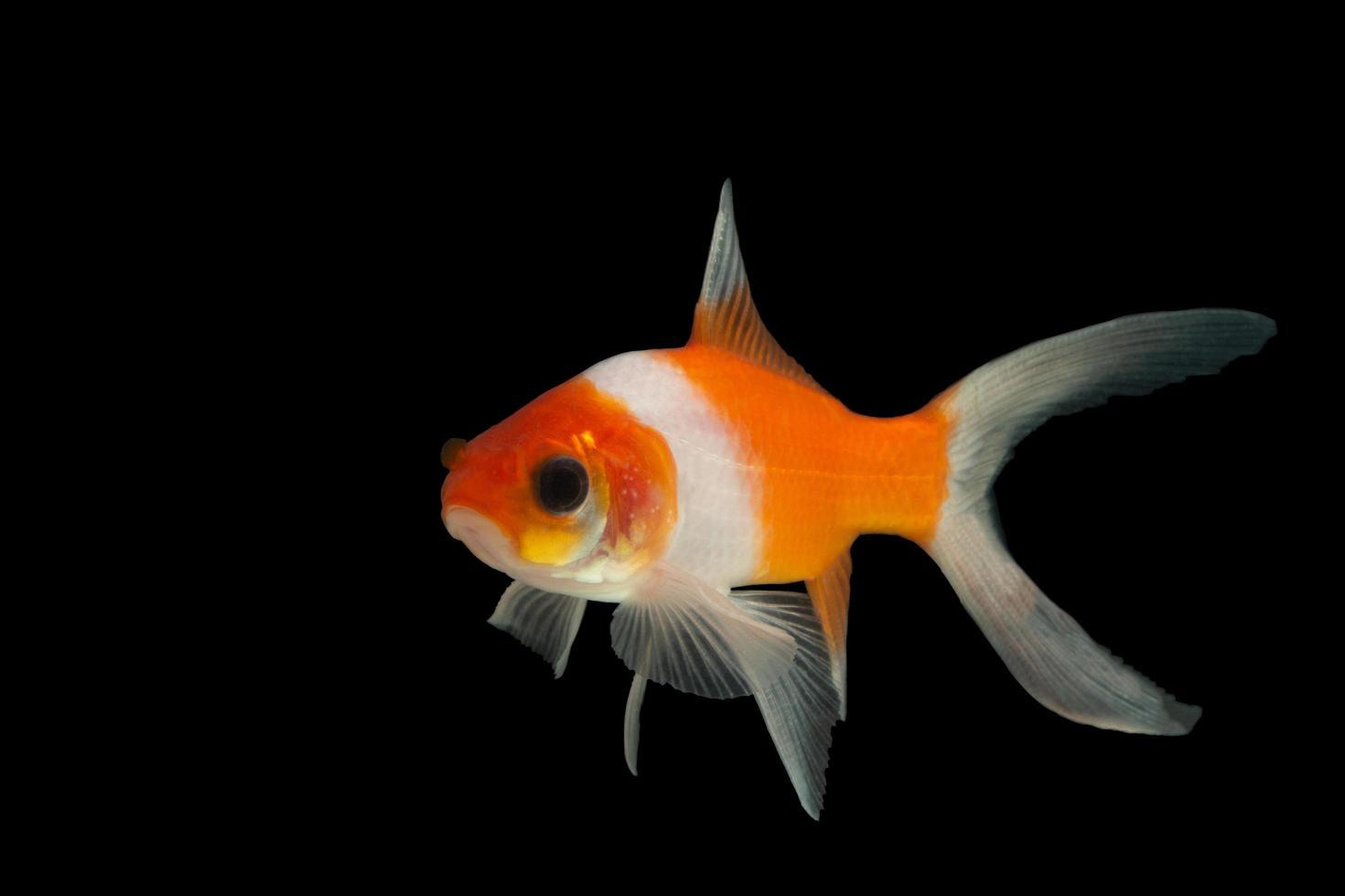 pesci rossi colorati su sfondo nero foto