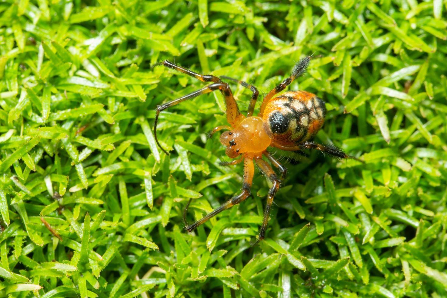 ragno nell'erba foto