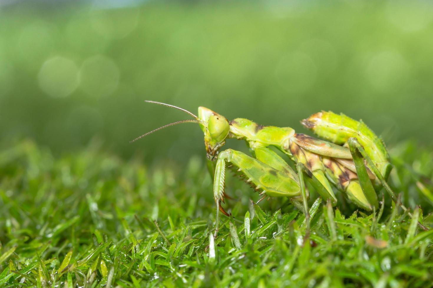 cavalletta nell'erba foto