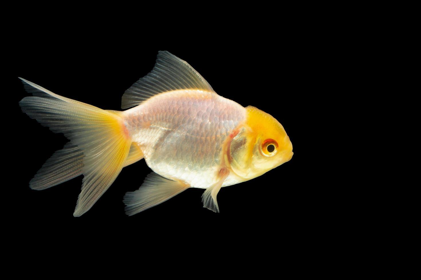 pesce rosso su sfondo nero foto