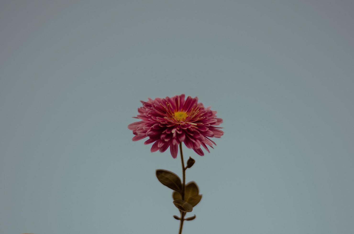 fiore rosa su sfondo blu foto