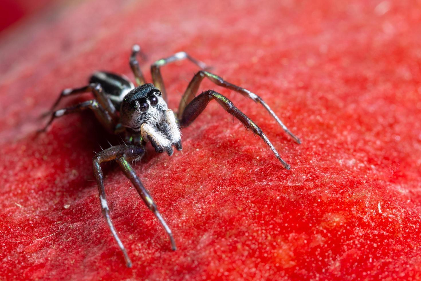ragno su sfondo rosso foto