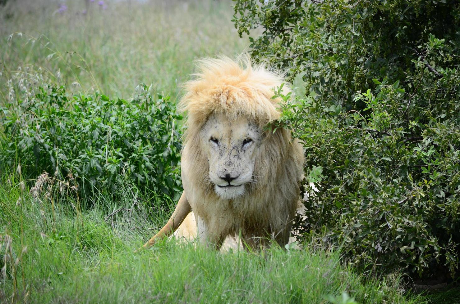 leone vicino a cespugli verdi foto