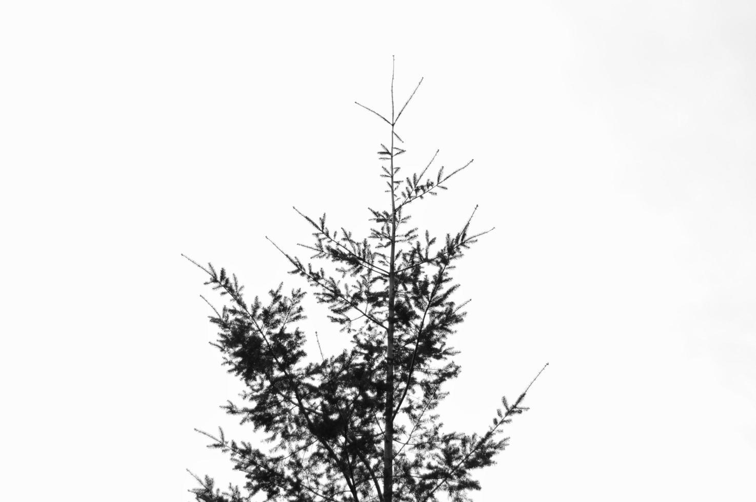 albero sempreverde in bianco e nero foto