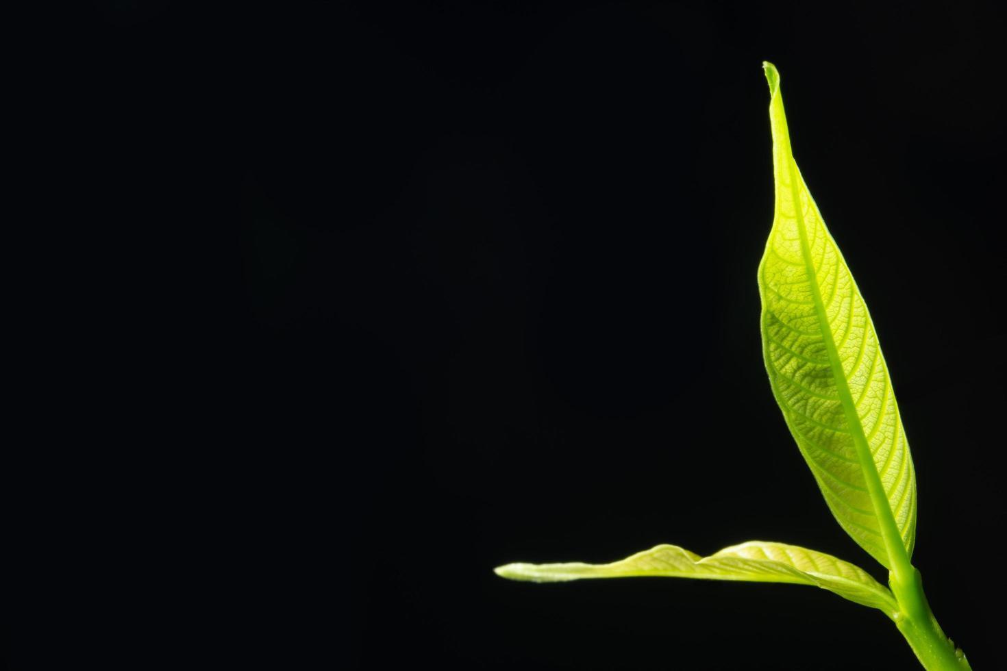 foglia verde su sfondo nero foto