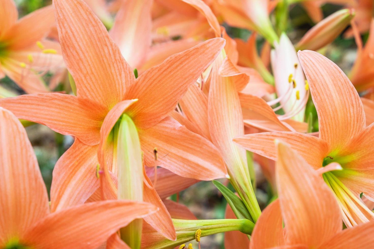 close-up di fiori d'arancio amaryllis foto
