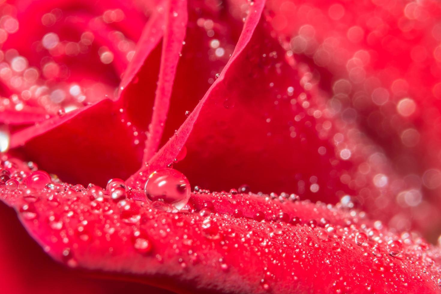 gocce d'acqua su una rosa rossa foto