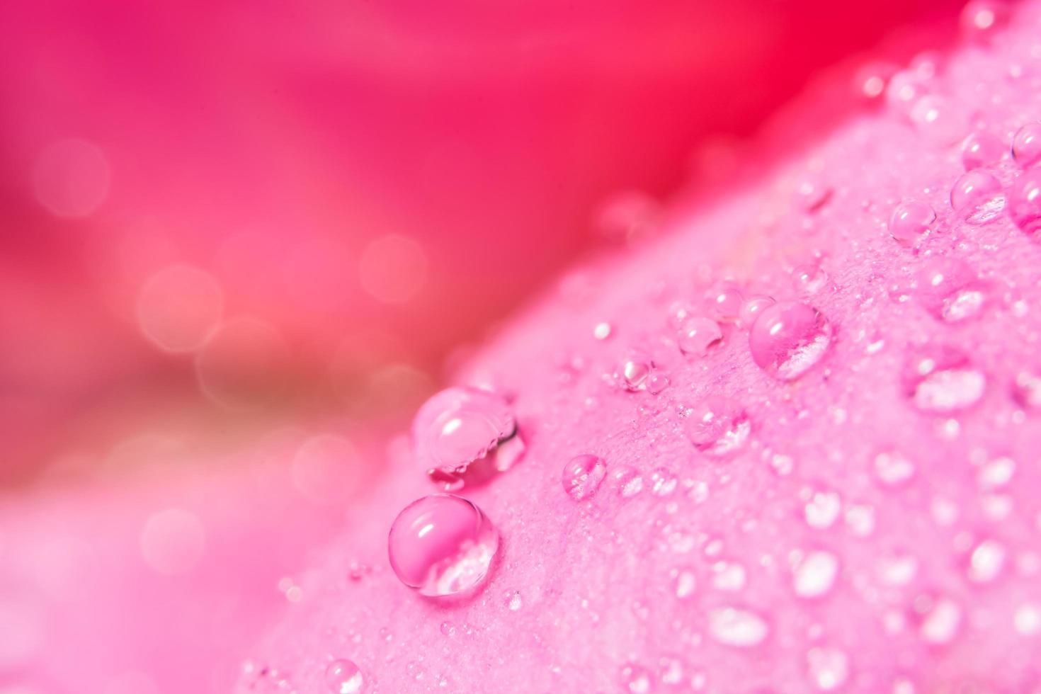 gocce d'acqua sui petali di rosa foto