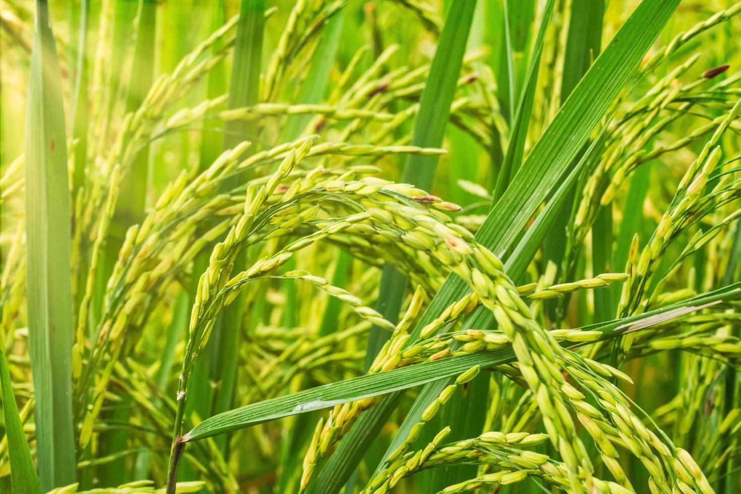 primo piano del campo di riso verde foto