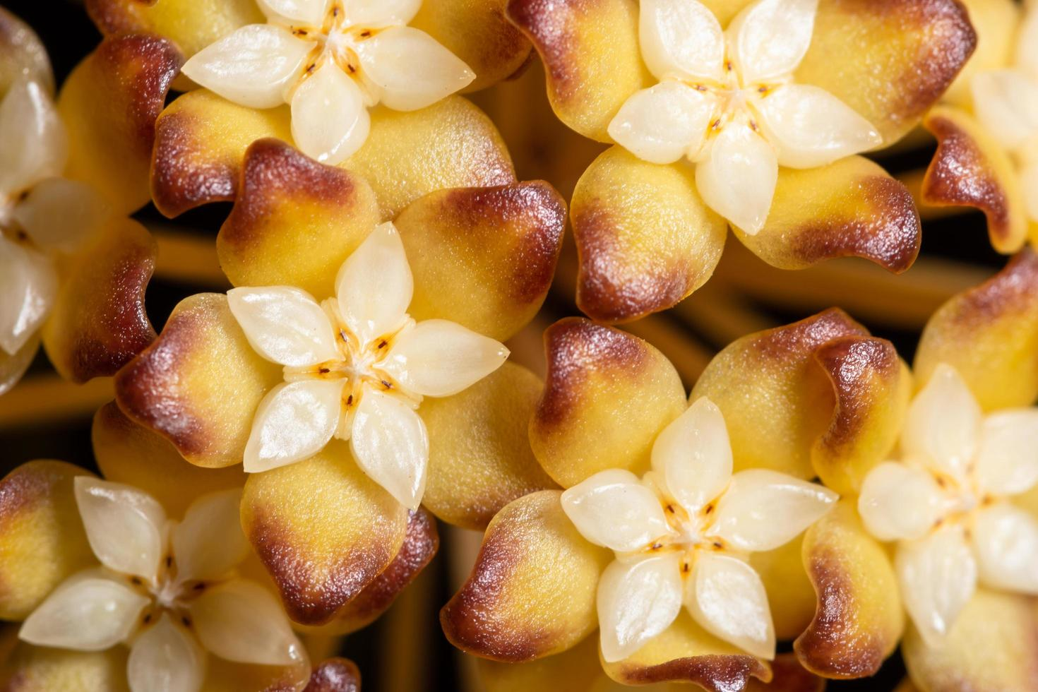 primo piano del fiore di hoya foto