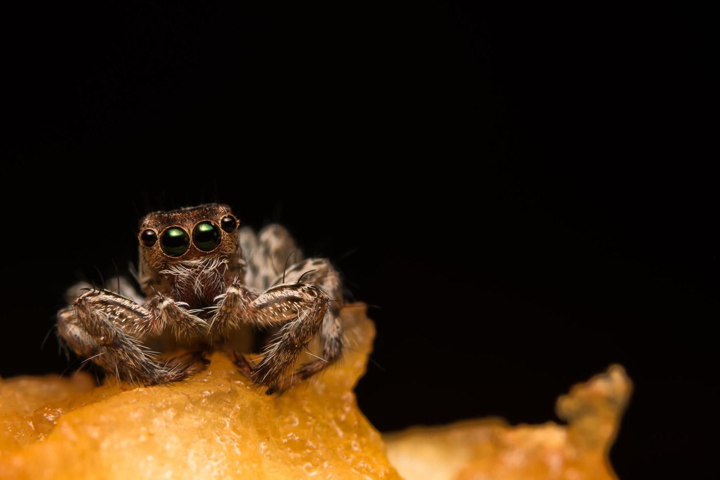 primo piano del ragno di hyllus foto