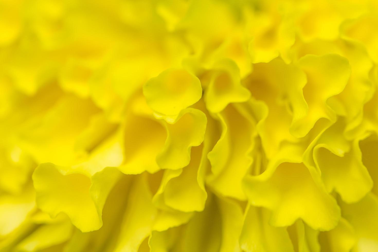 sfondo giallo fiore di calendula foto