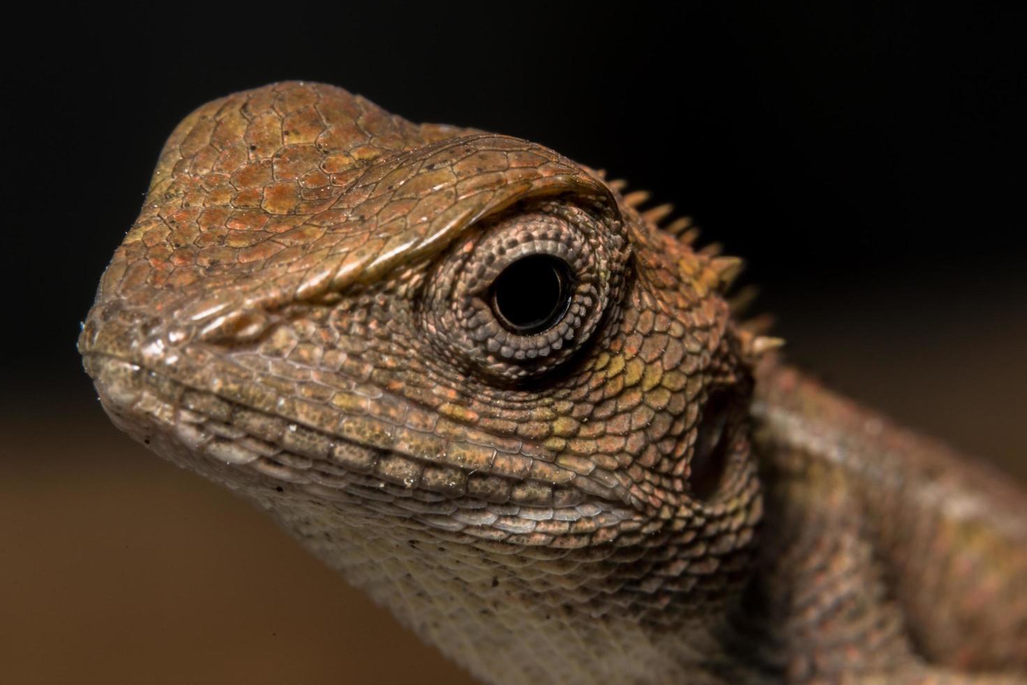 camaleonte, foto in primo piano