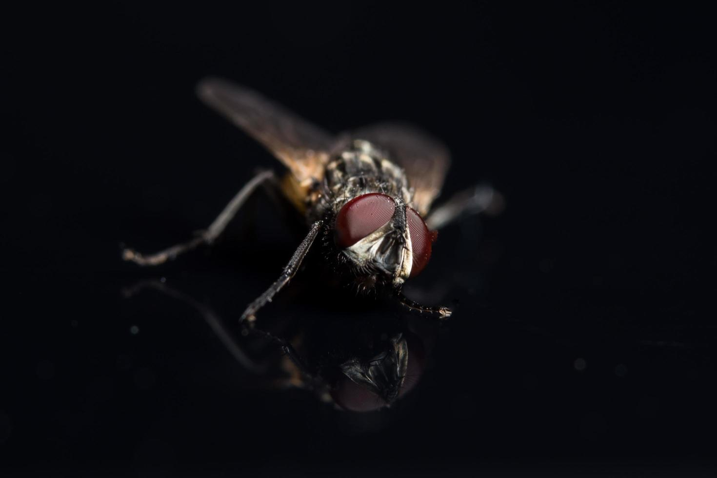ditteri fly close-up foto