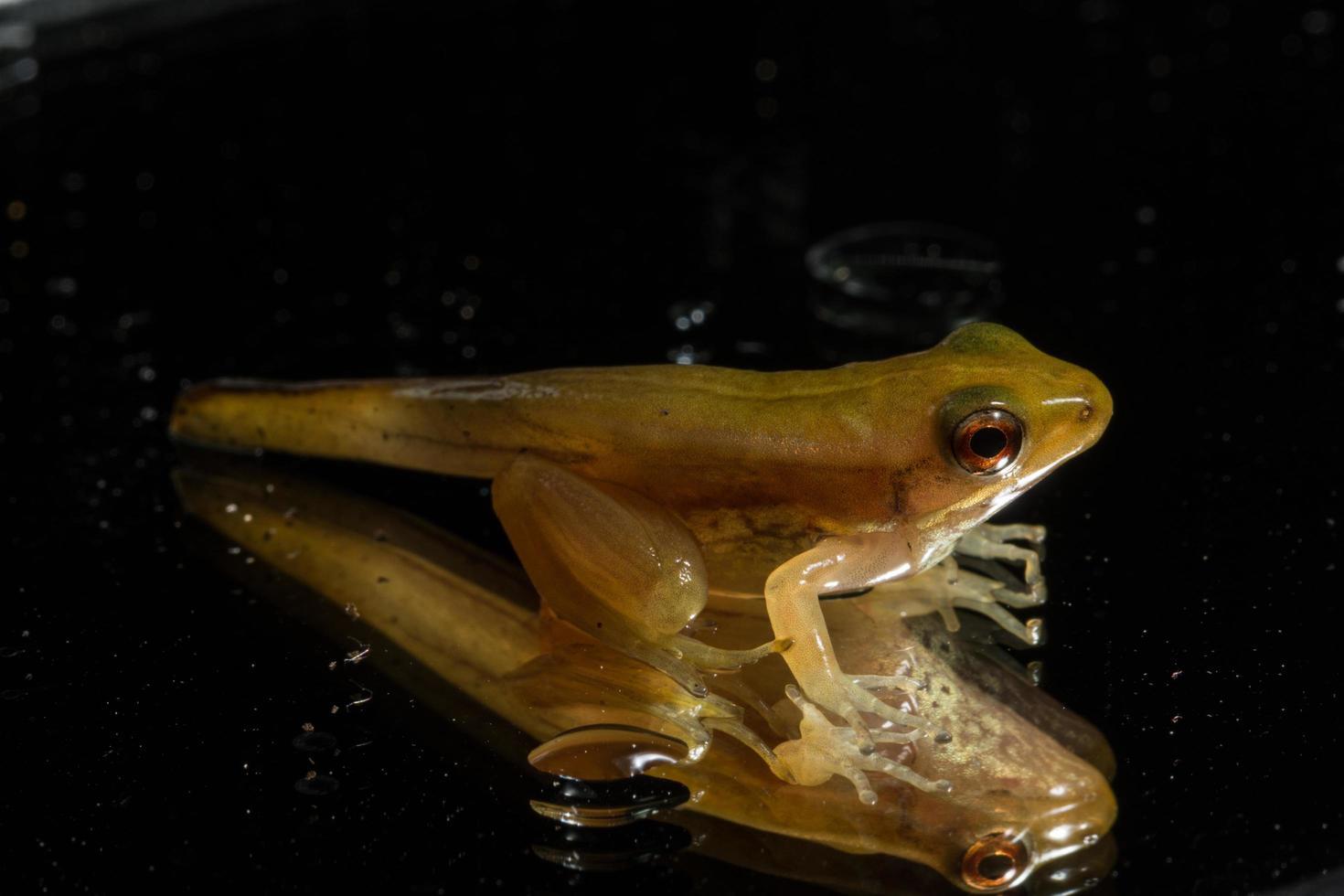 burattino di rana su sfondo nero foto