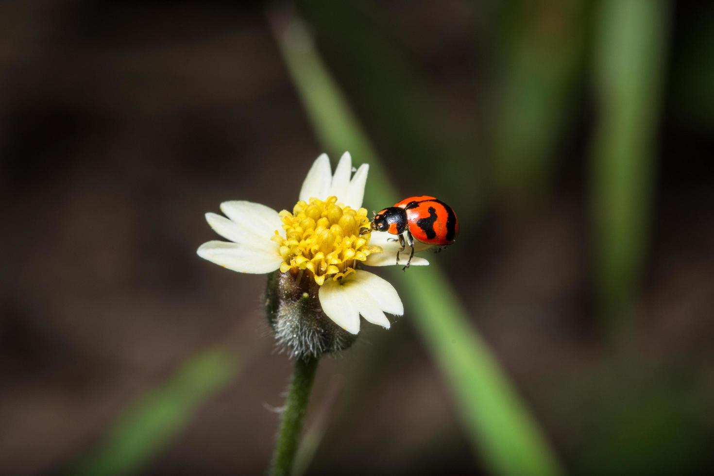 coccinella su un fiore foto
