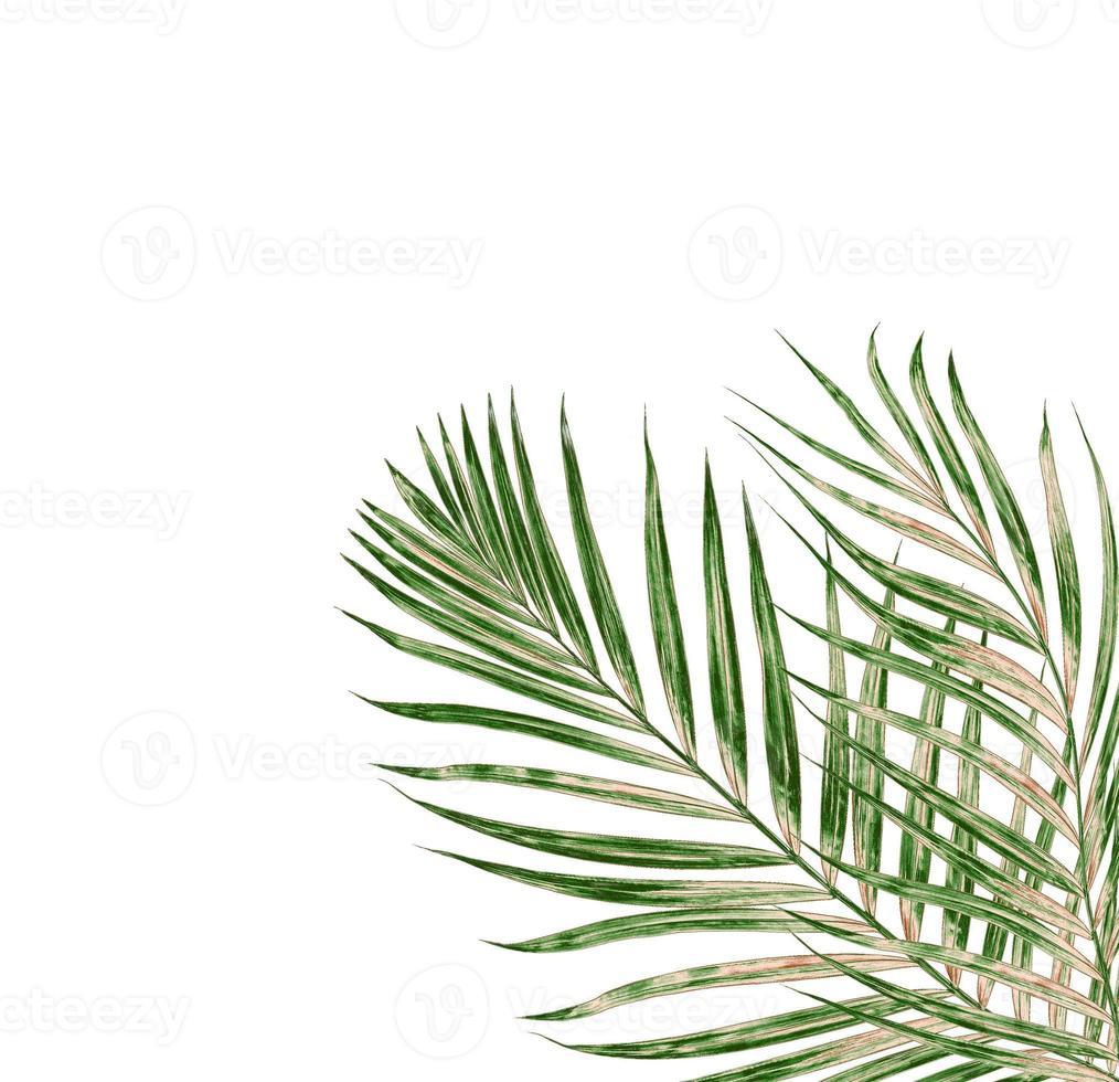 foglia di palma su sfondo bianco foto
