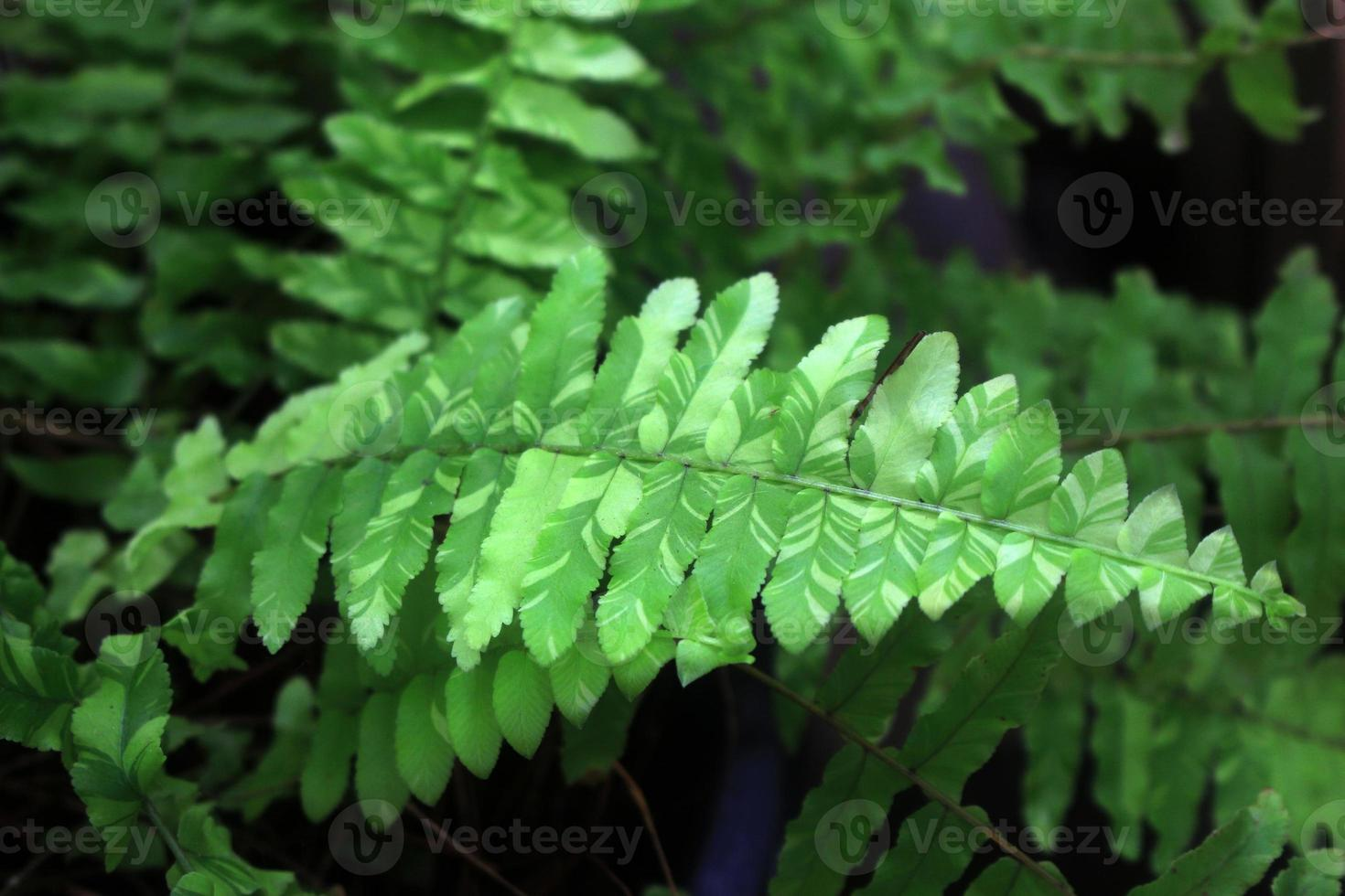 felce verde come sfondo, close-up. foto