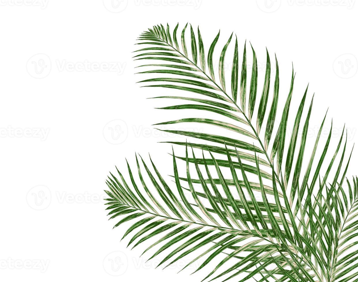 foglie di palma su uno sfondo bianco foto