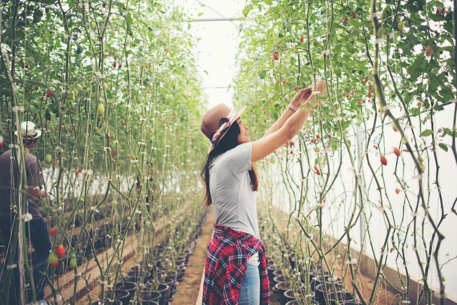 giovane donna in una serra con raccolta di pomodori biologici foto